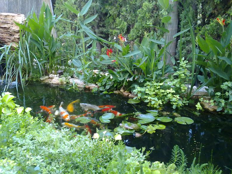 בריכת דגי קוי כולל צמחי מים וגדה Backyard Fish Pond