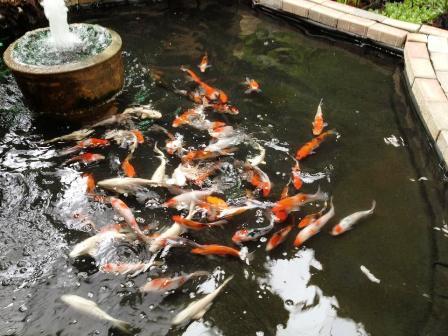 הכנסת דגי קוי באיכות A מחוסנים כ-70 יחידות