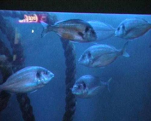 דגי הדניס באקווריום