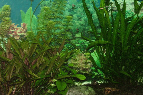 אקווריום צמחיית מים
