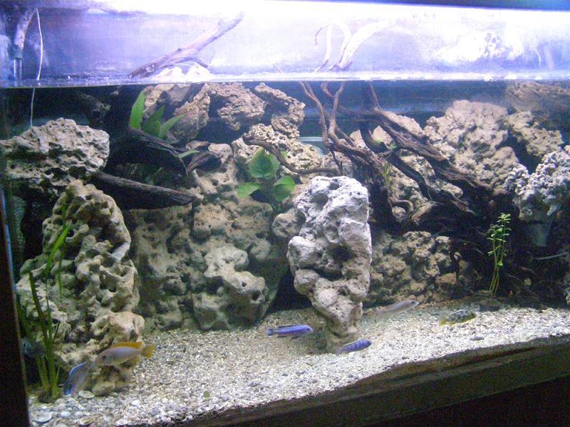 אקווריום דגי הציקליד