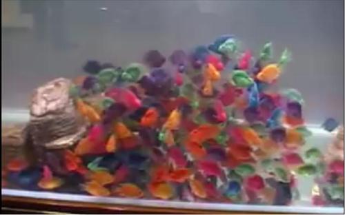 אקווריום דגי תוכי