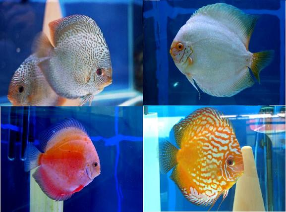 דגי דיסקוס  התמונות באדיבות איתן ניר
