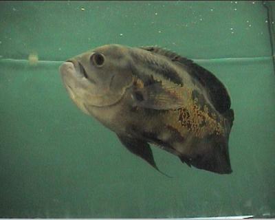דגי אוסקר