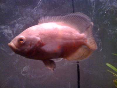 דג אוסקר