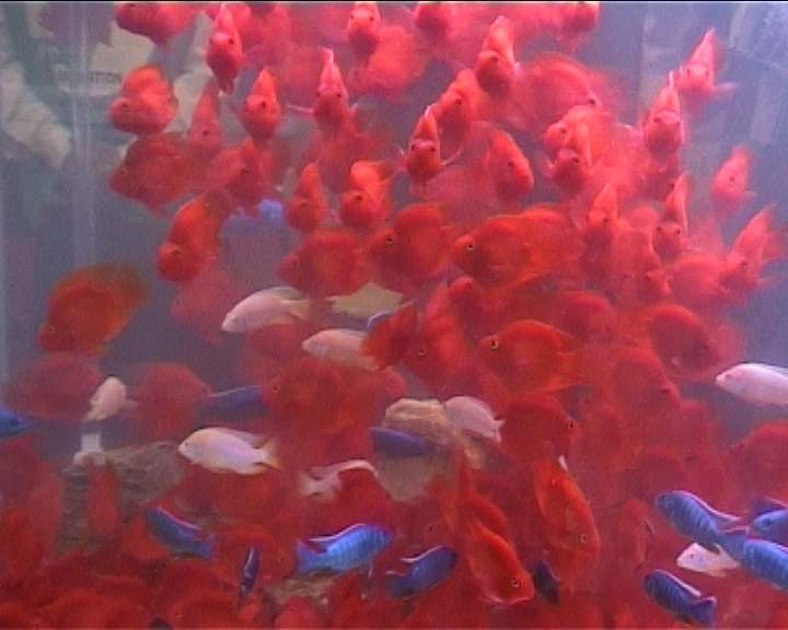 -דגי תוכי בתערוכה בסינגפור
