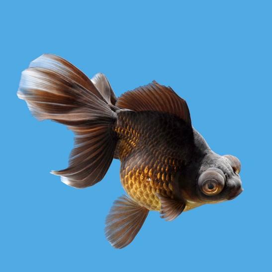 דגי השלייר של מים קרים