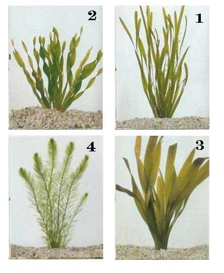 צמחי מים לאקווריום 1