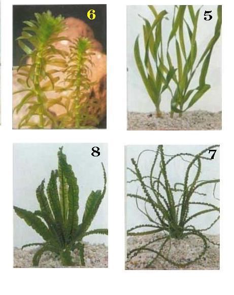 צמחי מים לאקווריום 2