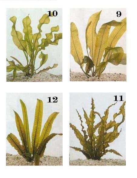 צמחי מים לאקווריום 3