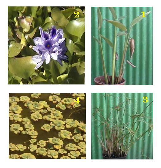 צמחי גדה לבריכות דגים 1