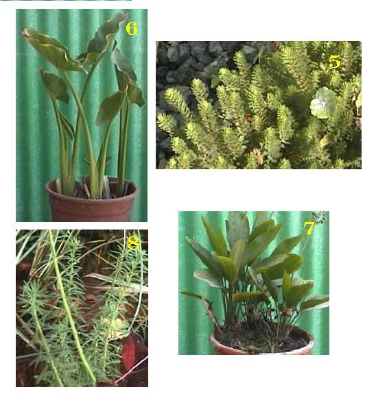 צמחי גדה לבריכות דגים 2