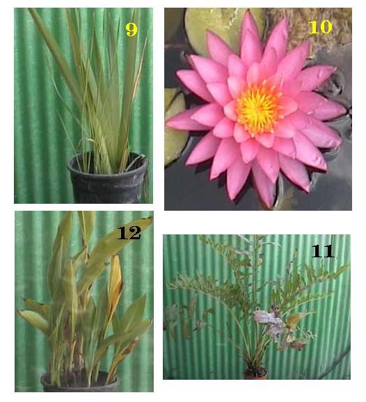 צמחי גדה לבריכות דגים 3