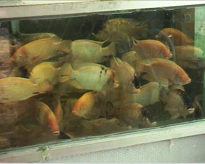 דגי האדמונית