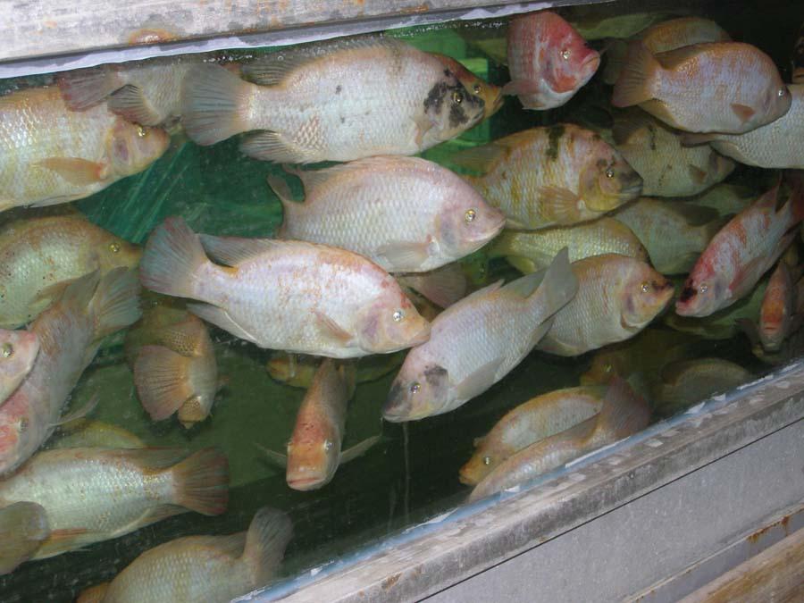 דגי האדמונית Red tilapia