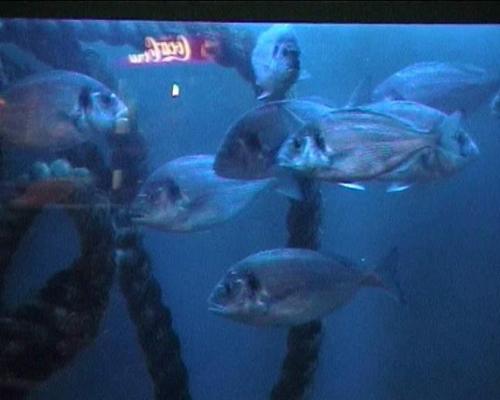 דגי דניס/צ´יפורה