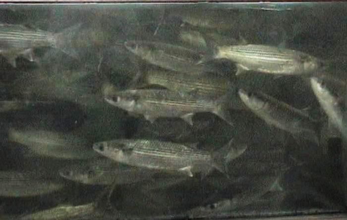 דג הבורי / קיפון