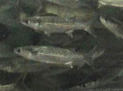 דג בורי / קיפון