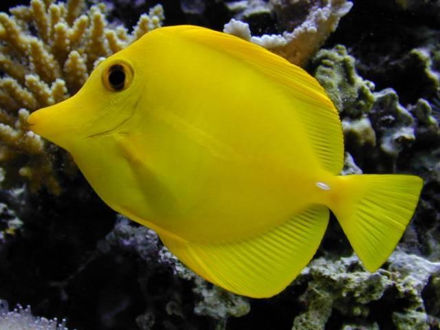 זברזומה צהובה Zebrasoma flavescens