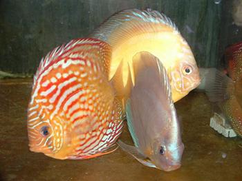 דגי דיסקוס אקווה גן