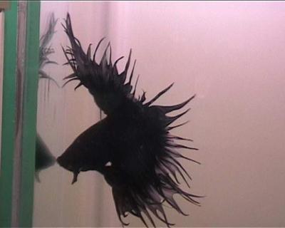 דגי קרב