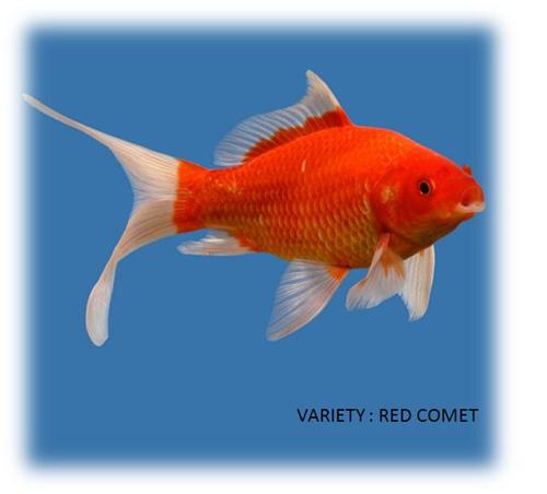 דג זהב קומט אדום