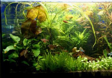 אקווריום צמחי מים
