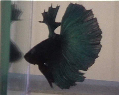 דג קרב