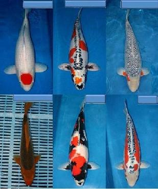 דגי הקוי או קוי יפני