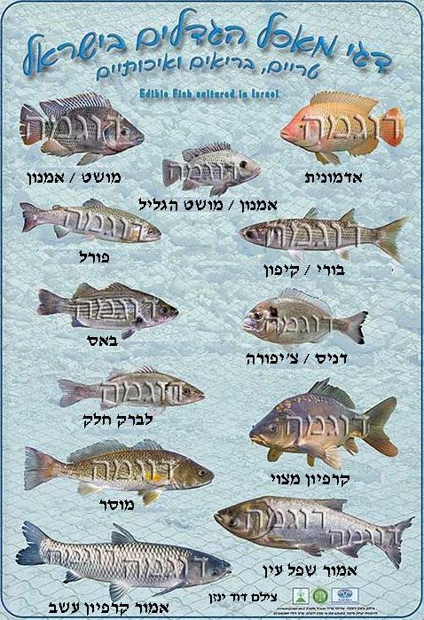 דגי מאכל דף פירסום של אירגון מגדלי הדגים בישראל