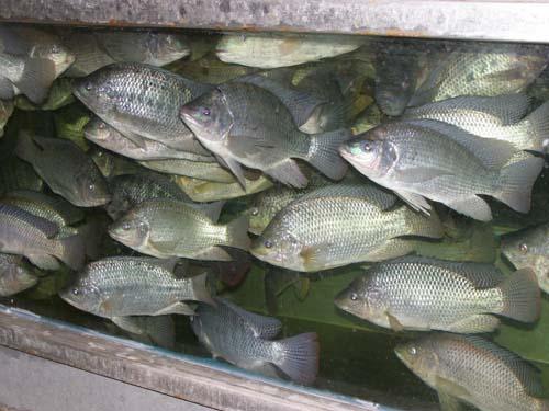 דגי מושט