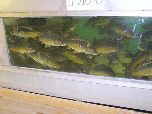 דג הקר-פיון
