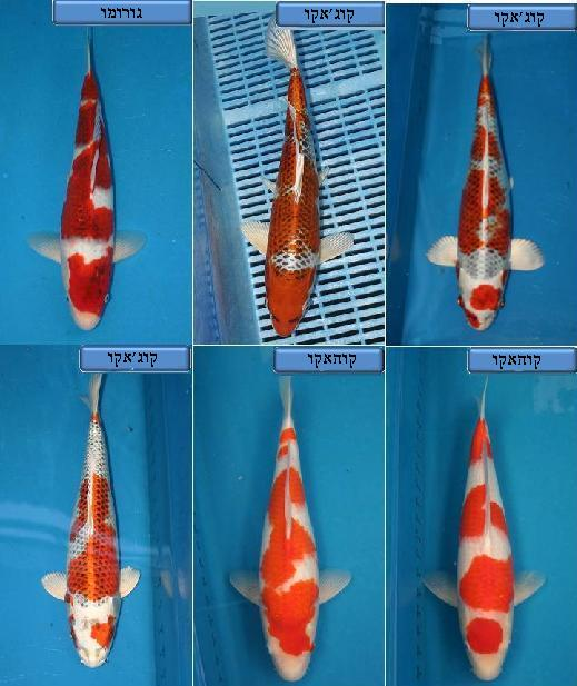דגי הקוי