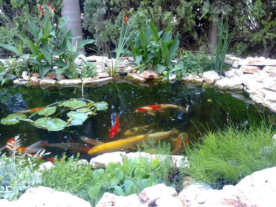 בריכת דגי קוי בעומר Backyard Fish Pond, Israel