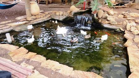 בריכת דגים ועופות טיפפולית בית חולים גהה